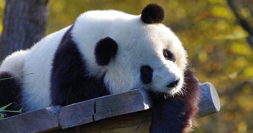 ¿Porque los pandas gigantes son tan pequeños al nacer?