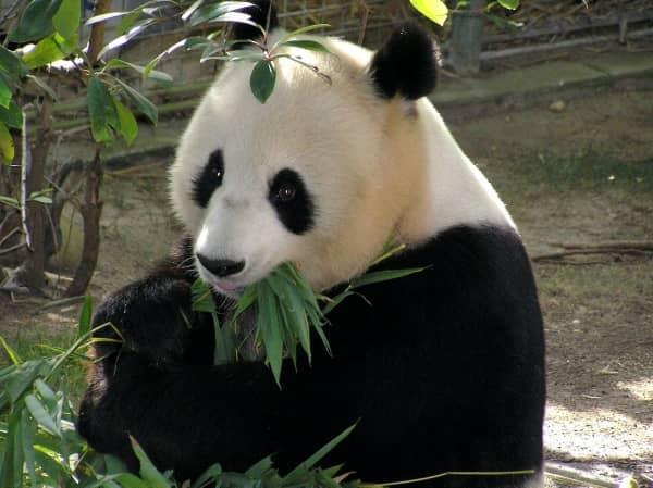 oso panda gigante con bambú